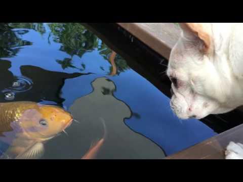 鬥牛犬跟鯉魚竟是好朋友 水中見面這麼友好~~