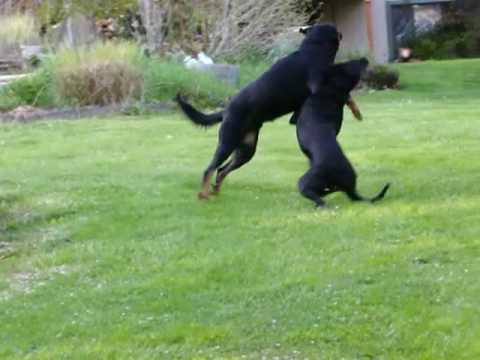 Beaucerons -  The smart and the crazy