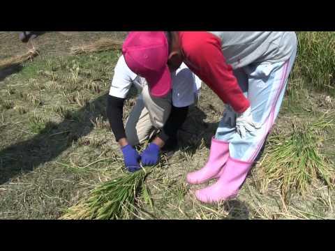 種子島の学校活動:住吉小学校もち米稲刈り体験活動