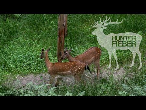 Damwildjagdwochenende bei den HunterBrothers #Traumwaldbock liegt I Hunt on Demand Free Episode