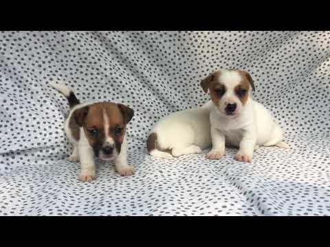 Vendita jack russell (russel) terrier cucicoli - allevamento/pedigree