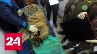 Амурскому тигренку прострелили голову, врачи борются за его жизнь