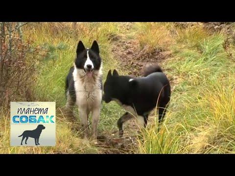Русско-европейская лайка. Планета собак