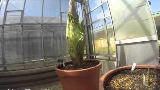 Timelapse flowering of the Titan arum at Mount Lofty Botanic Garden (first vision)