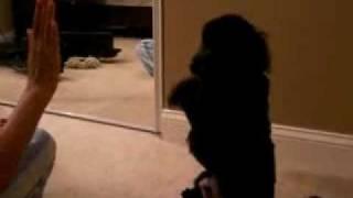 Cute Toy Poodle - Joy Training Oscar To Do Tricks
