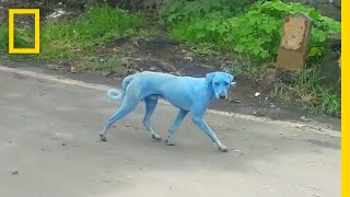 Blue Dogs Spotted in India—What's Causing It? | National Geographic