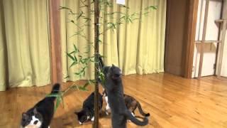 大挙して七夕の笹に群がる猫、笹の葉サラサラ激しく揺らして
