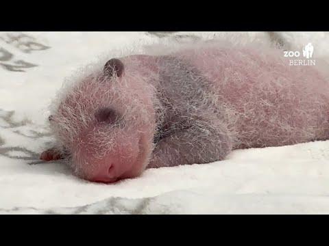 Berlin: Die Pandakinder im Berliner Zoo wachsen und ge ...