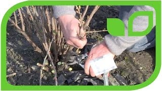 How to prune a black currant bush