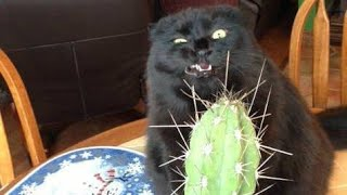 Video Funny BLACK cat video compilation  -  It's HARD to Hold your LAUGH MP3, 3GP, MP4, WEBM, AVI, FLV Juni 2018