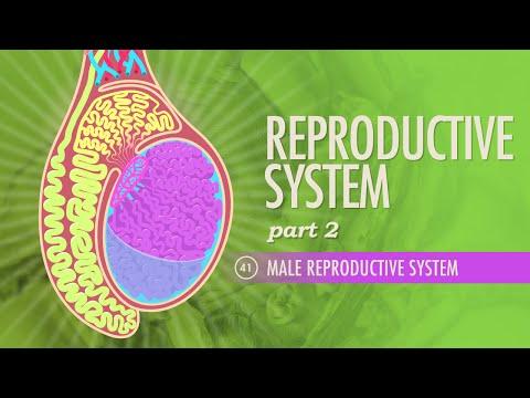 Reproductive System, Part 2 - Male Reproductive System: Crash Course A&P 41