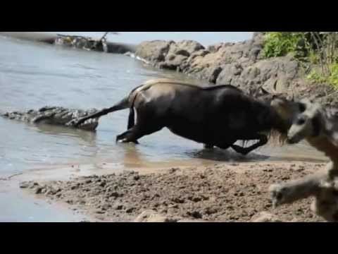 Wildebeests - Here are highlights from a one-and-a-half hour struggle. To those who never thought of a wildebeest as a symbol of perseverance, think again.
