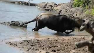 Khmer Others - Noble Wildebeest vs. Massive Crocodile