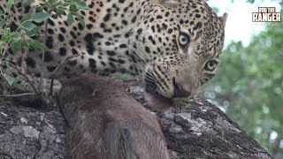 Ravenscourt male leopard had killed a wildebeest calf and put it up a tree.Filmed at Idube Game Reserve in the Sabi Sand Wildtuin, Greater Kruger National Park, South Africa (http://www.idube.com/static)Filmed in 4K UHD resolution using the Sony AX100 video cameraSubscribe for more great wildlife clips: http://goo.gl/VdOHuSFollow #nowfilming on social networks for LIVE photo updatesROB THE RANGER WILDLIFE VIDEOS on Social Networks:TWITTER: http://goo.gl/U8IQGfBLOG: http://goo.gl/yJJ3pTFACEBOOK: http://goo.gl/M8pnJhGOOGLE+: http://gplus.to/robtherangerTUMBLR: http://goo.gl/qF6sNS#YouTubeZA#YouTubeSSA#SAYouTubers