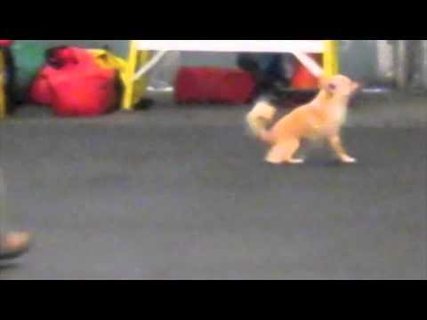 Long Coat Chihuahua- 1st Agility Run Thru in Beginning Agility Training
