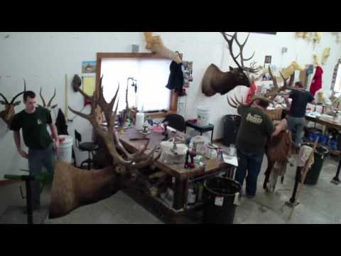 Taxidermy Time Lapse – Elk