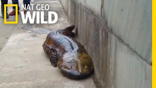At Least Five New Giant Salamander Species Identified | Nat Geo Wild by Nat Geo WILD