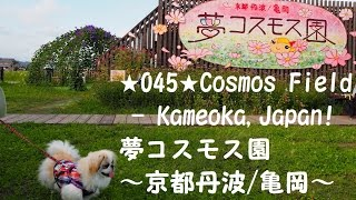 Kameoka Japan  city photo : 045 Cosmos Field-Kameoka,Japan!  夢コスモス園~京都丹波/亀岡