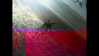 Bradford (PA) United States  City new picture : Brownish Black Spider/ Bradford, PA., USA