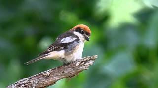 Video Woodchat Shrike,  picanço-barreteiro (Lanius senator) MP3, 3GP, MP4, WEBM, AVI, FLV Agustus 2018
