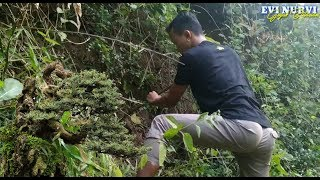 Download Video Niat Dongkel Bonsai Arabica & Serut Di Perengan Sungai Malah Dapat Rukem (Hunting Babon Blitar) MP3 3GP MP4