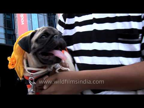 Pug puppy out to get married at Ansal Plaza, Delhi