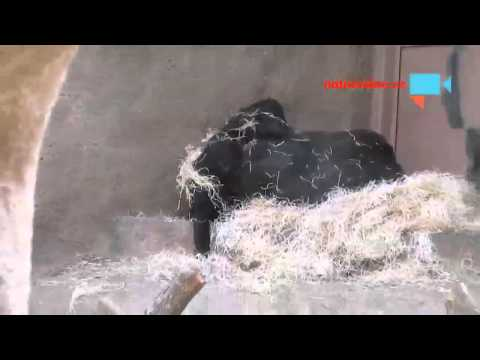 Zoo Paraha Gorily