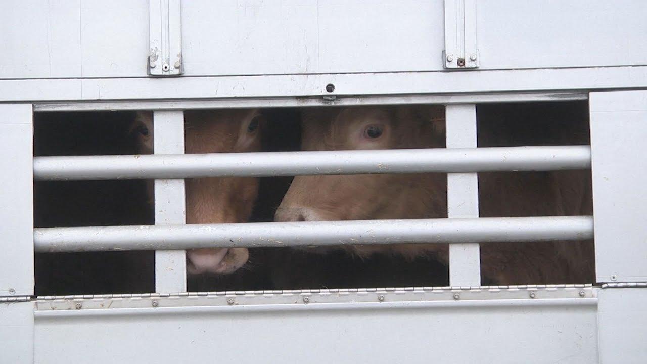 Καλύτερη φροντίδα για τα μεταφερόμενα ζώα ζητά το Ευρωκοινοβούλιο