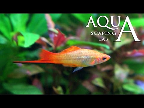 acquariofilia - swordtail