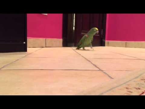 un pappagallo si introduce in camera: ascoltatelo e provate a non ridere