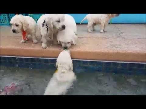 golden retriever puppies swim for first time...