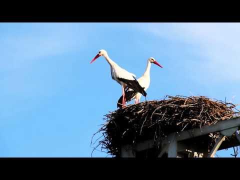 Transfer of stork nests