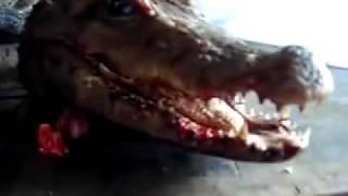Жесть! Отрубленная голова аллигатора продолжает жить