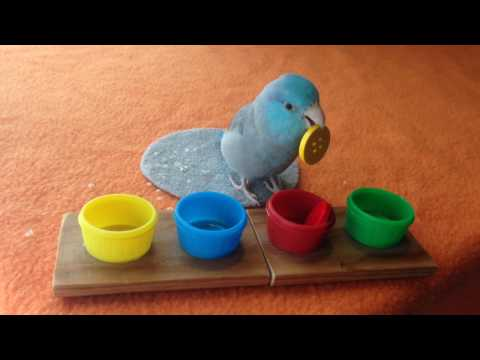 Charlie the Parrotlet Practices Color Sorting