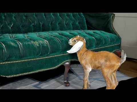 Two Clumsy Baby Goats Learn to Jump on Couch
