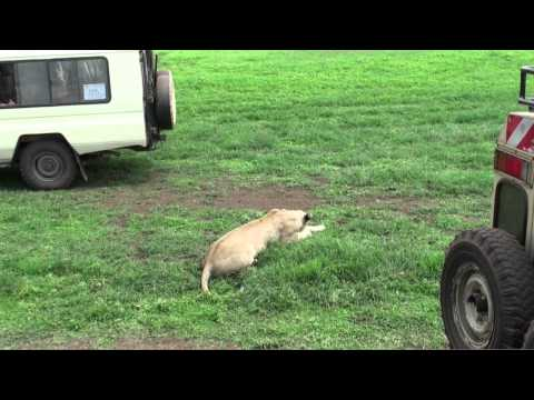 The lions of the Ngorongoro (Tanzania)