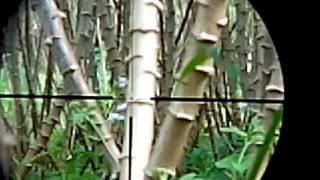 burung sirit incuing memang burung setan susah di deteksi