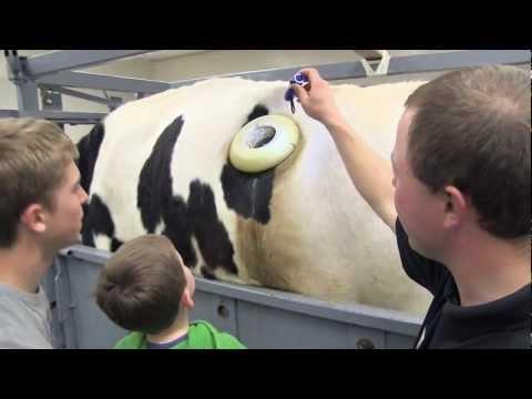 農場裡的牛隻竟然活生生的在胃部被開了一個大洞…