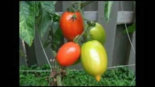 Tomato time lapse