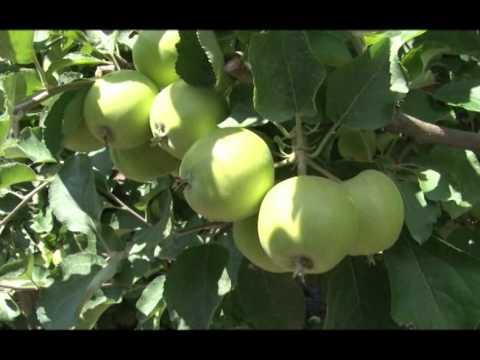 Zaštita jabuke od jabukinog smotavca