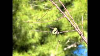 Anna's Hummingbird mega stretch and slow flap 300fps slow motion V08860