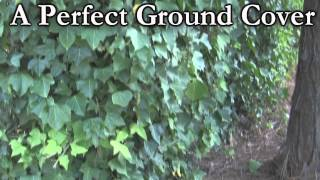 http://www.tytyga.com/English-Ivy-Vin... Hedera - The English ivy vine is a fast growing plant that is useful in covering fences or masonry walls. English ivy vines ...