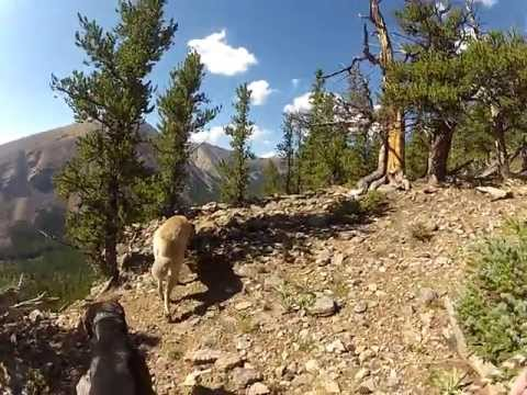 turkish shepherd dog - This is a video of me hiking Pike National Forest with my Tosa Inu (土佐犬)