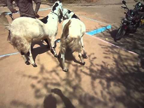 rajasthan goat farming - all goat is vry healthy my contract no. 919001952314.