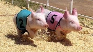 Sarasota County Fair Pig Races March 18th 2015 Race 1