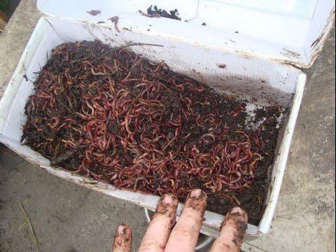 чем можно кормить червей для рыбалки