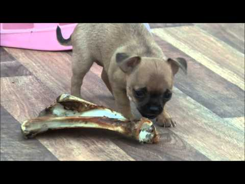 Chihuahua Puppies for Sale 12th July 2013