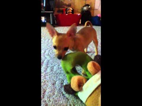 Chihuahua humps reindeer
