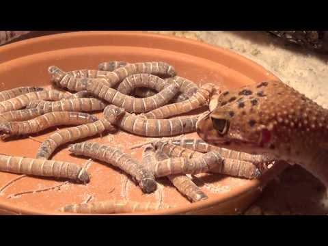 Leopárd Gekkó táplálkozása | Gyászbogárlárvák elfogyasztása nagy élvezettel