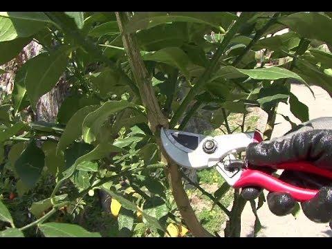 quando e come potare gli agrumi